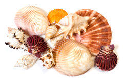 Sea shells. Colorful sea shells on a white background Stock Images
