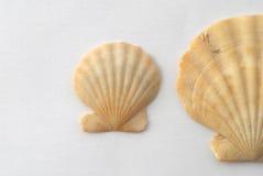 Sea shells. Macro of Sea shells on the background Royalty Free Stock Photo