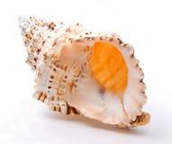 Sea shells. Large sea shells coated with varnish Stock Image