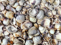 Sea Shells. Abstract texture of shells con on the beach royalty free stock image
