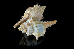 Sea Shells Angaria Delphinus Stock Images