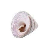 Sea shells arranged isolating on a white background.  royalty free stock image