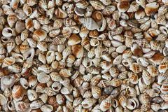 Sea shells background. Closeup image of many sea shells for backgrounds or textures Stock Photo