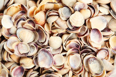 Sea shells background close up Royalty Free Stock Images