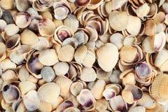 Sea shells background close up Stock Image