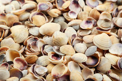 Sea shells background close up Royalty Free Stock Photos