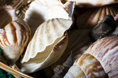 Sea shells in a basket Stock Photography