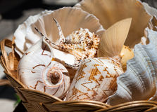 Sea shells in a basket Royalty Free Stock Images