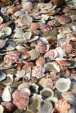 Sea Shells on Beach (Closeup). Many sea shells on beach Stock Images