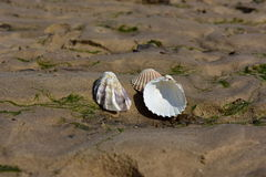 Sea shells. Beach coast tourism water sea shells on white background brown sand vacation Stock Photography