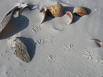 Sea shells and bird tracks. Beach in Florida with sea shells and bird tracks Stock Photo