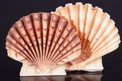 Sea shells of bivalvia on black background macro Stock Photography