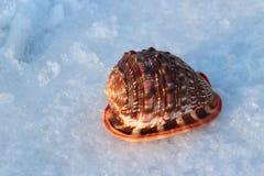 Sea shells  bulls-mouth Helmet Royalty Free Stock Photo