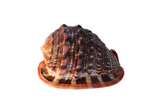 Sea shells bulls-mouth Helmet Royalty Free Stock Photography