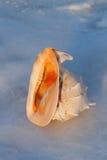 Sea shells   cassis cornuta Royalty Free Stock Photography