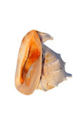 Sea shells  cassis cornuta Stock Images