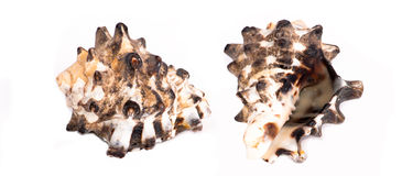 Sea shells from Cerithiidae family. Brown and white patterned sea shell from Cerithiidae family Royalty Free Stock Photo