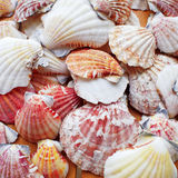 Sea shells and clams closeup Royalty Free Stock Photography