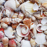 Sea shells and clams closeup Royalty Free Stock Photo