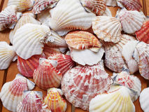 Sea shells and clams closeup Stock Photography