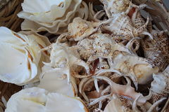 Sea Shells. A Collection of Sea Shells for a Background Display royalty free stock photo