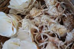 Sea Shells. Royalty Free Stock Photo