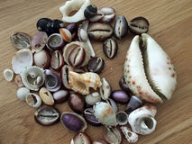 Sea shells collection. A collection of different seashells placed on a wooden board Royalty Free Stock Images