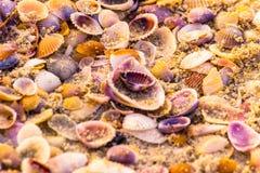 Sea Shells. Colorfull Sea Shells on Goa Beach Royalty Free Stock Photo
