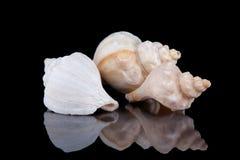Sea shells conch  on black background . Sea shells conch  on black background Royalty Free Stock Photo