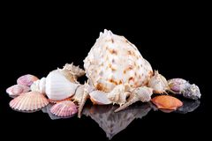 Sea shells conch isolated on black background . Royalty Free Stock Photography