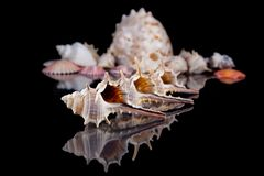 Sea shells conch isolated on black background . Royalty Free Stock Photos