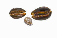 Sea shells cowry Stock Photography