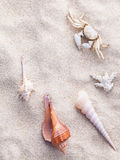 Sea shells and crab on beach sand for summer and beach. Stock Photography