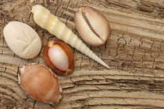 Sea shells on driftwood Stock Photography