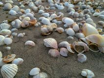 Sea Shells form a trail on the sand at caspian beach, Iran, Gilan. Gray life background beige collection design macro marine natural nature ocean scallop stock photography