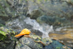 Sea shells. Gastropods put on the rocks at the seaside Stock Photography