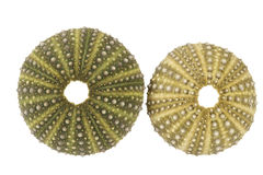 Sea shells of  and green sea urchin  Echinoidea on white background Royalty Free Stock Image