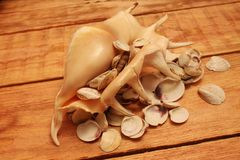 Sea shells Royalty Free Stock Images