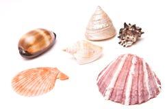 Sea shells isolated. On white background royalty free stock image