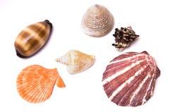 Sea shells isolated. On white background stock photo
