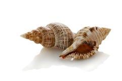Sea shells isolated. On white stock photos