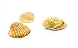 Sea shells isolated on white Royalty Free Stock Photos