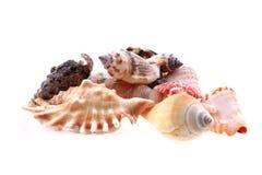 Sea shells isolated Stock Image