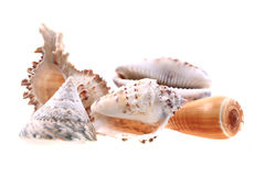 Sea shells isolated Royalty Free Stock Images