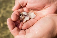Sea shells in man`s hands. Sea shore and waves royalty free stock photography