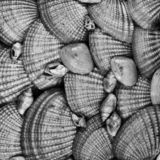 Group of textured seashells in black and white royalty free stock photography
