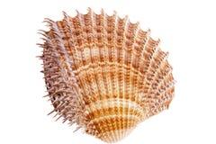 Sea shells of mollusk isolated on white background Stock Photo