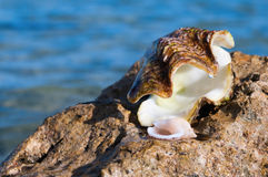 Sea Shells on the Rocks at a Tropical Beach Royalty Free Stock Photography