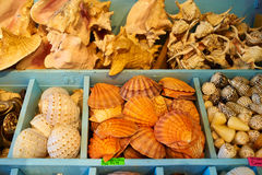 Sea shells for sale in a souvenir shop Stock Image