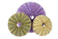 Sea shells of sea urchin  Echinoidea isolated on white background Stock Image